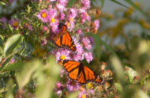 Monarch Butterflies and Fairhaven: Our special summer visitor